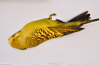 Dead Budgie